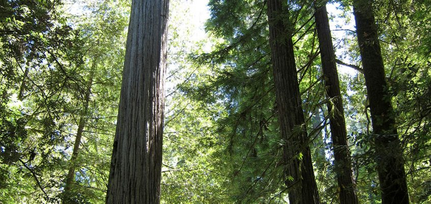 Prehistoric space – the Redwoods